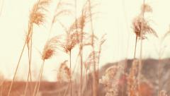 Cattails in the breeze - stock footage