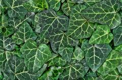 A background of dark green ivy leaves Stock Photos
