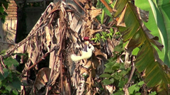 A white squirrel laps nectar from a banana flower - S1 Stock Footage