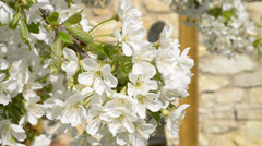 Cherry blossom with motion effect Stock Footage