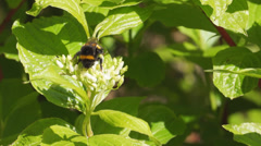 Bumble Bee on Dogwood Stock Footage