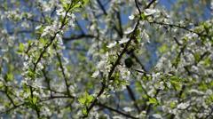 Green chafer bug beetle mate season white bloom tree spring Stock Footage