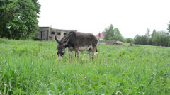 Donkey animal tied with chain graze in pasture grass Stock Footage