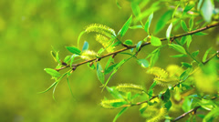 Flowers alder Stock Footage