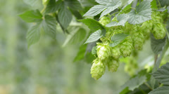 Hop Cones In The Gentle Wind Stock Footage