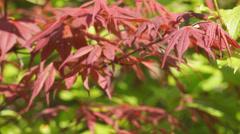Acer Palmatum Atropurpureum Stock Footage
