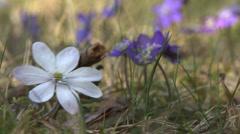 Flowering Liverwort, Hepatica nobilis during spring in sweden Stock Footage