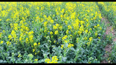 Rapeseed flowers Stock Footage