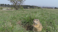 Wild animal ground squirrel Stock Footage