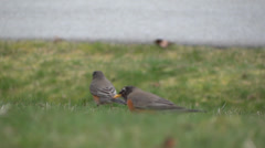Robin Birds On Road Sidewalk Grass Stock Footage