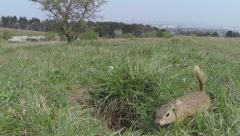 Wildlife ground squirrel Stock Footage