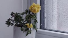 Watering a Withered and Dying Flower in Slow Motion - stock footage