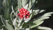 Stock Video Footage of Helichrysum Ruby Cluster