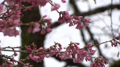 Cherry Tree Flowers Loop 03 Stock Footage