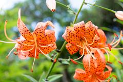 Tiger lily, lilium lancifolium Stock Photos