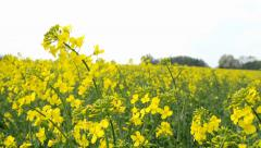 Field with yellow crop (focus on detail) Stock Footage
