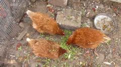 Free range chicken Stock Footage