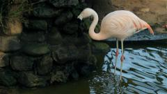 Phoenicopterus in a pool - stock footage