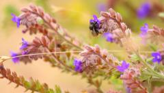 Bumblebee on the branches of purple wild flower, close-up, macro Stock Footage
