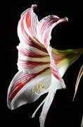 blooming amaryllis on a dark background - stock photo