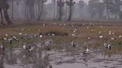 Openbills feed in the rice fields on a misty morning Stock Footage