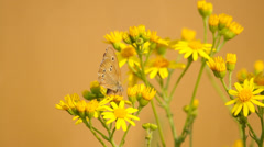 Beautiful butterfly on the yellow wild flower, blurred background, macro - stock footage