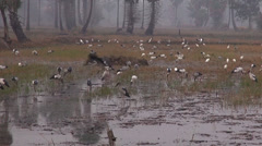 Openbills feed in the rice fields on a misty morning. Stock Footage