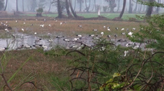 A flock of Openbills feed in the rice fields Stock Footage