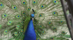 Peacock Courtship Stock Footage