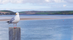 Herring Gull perched on post, empty space to RHS Stock Footage