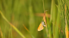 Orange butterfly laying eggs on the grass in nature, macro Stock Footage