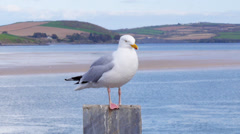 Herring Gull perched on post Stock Footage