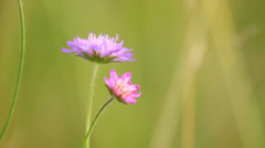 Two blossoms of wild flowers against blurred background, close-up, copyspace Stock Footage