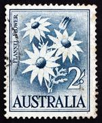 Stock Photo of Postage stamp Australia 1957 Flannel Flower, Herbaceous Shrub