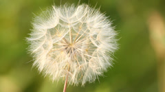 Seed head of dandelion on blurred background, close-up Stock Footage