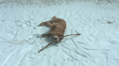 Golden Retriever adult dog rolling around playing in snow Stock Footage