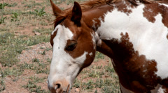 Brown and white painted horse in a windy desert pasture. Stock Footage