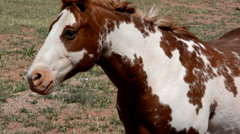 Detail of a brown and white painted horse in a windy desert pasture. Stock Footage