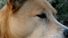Dog, close-up detail of eyes and face. Stock Footage