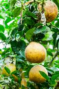 Pomelo Fruit Outdoor Stock Photos