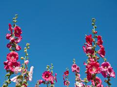 The pink hollyhock in the garden Stock Photos