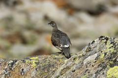 Ptarmigan, Lagopus mutus, summer, Gran Paradiso National Park, Cogne - stock photo
