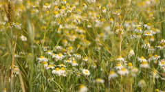 Meadow of daisies and wild flowers in the country, panning, windy Stock Footage