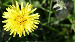 Close Up of a Dandelion Flower Covered in Tiny Black Bugs Stock Footage