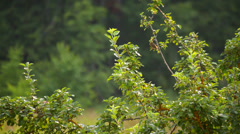 Yellow bird on the branch of tree in nature in summer Stock Footage