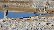 Stock Video Footage of Zebra at waterhole