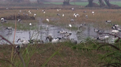 A flock of Openbills feed in the rice fields on a misty morning Stock Footage