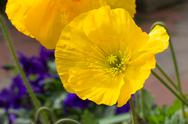 Stock Photo of Brilliant Yellow Poppy