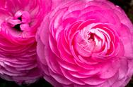 Stock Photo of Pink Ranunculus