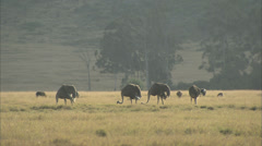 Ostriches Feeding Stock Footage